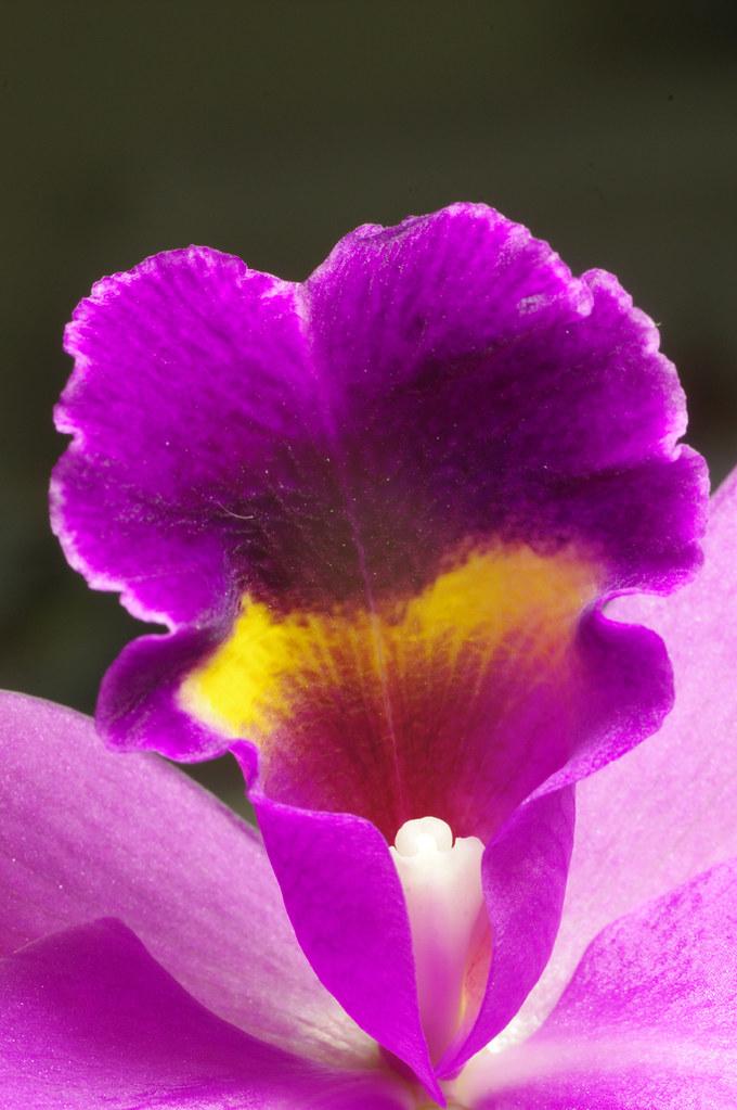 花芯--微距練習,動的不會拍,摘朵蘭花來練習