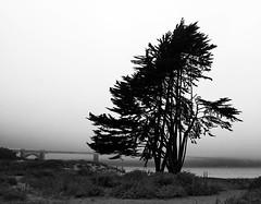 Tree & the Golden Gate Bridge (` Toshio ') Tags: sanfrancisco california bridge blackandwhite bw tree beach water silhouette cali bay sand branch monotone goldengate baybridge sanfranciscobay toshio flickrstruereflection1