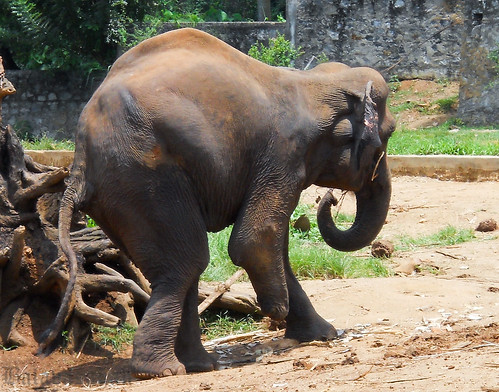 Pinnawela Elephant Orphanage -Elephant Sama