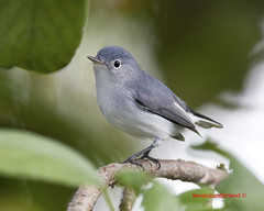 Blue Gray Gnatcatcher Plantation Key, Florida Keys (kevansunderland) Tags: birds canon ngc migration songbird gnatcatcher winterbirds floridawildlife bluegraygnatcatcher birdphotography floridabirds