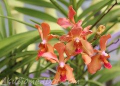 Bunga Orkid - Menjawab tag dari Mata Hati Mekar