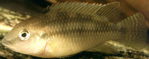 Benitochromis Ufermanni Male, Malawi. Photo by Randall Brummett, 2004