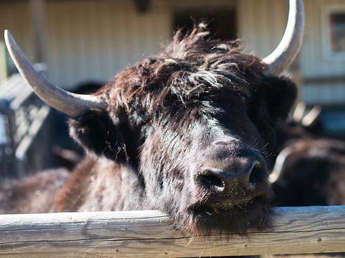 yaks!!!! -3.jpg