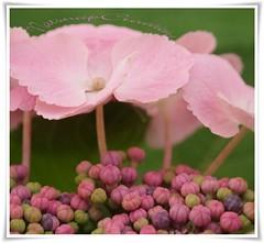 Hydrangea & buds (~~NatSnap~~) Tags: bokeh photoart prettypetals hydrangeamacro pinkblooms floramacro hydrangeabloomsandbuds candycolouredbuds