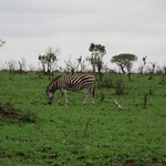 "Zebra <a style=""margin-left:10px; font-size:0.8em;"" href=""http://www.flickr.com/photos/14315427@N00/6347162130/"" target=""_blank"">@flickr</a>"