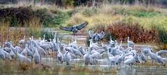 Sandhill Cranes (Garebear400) Tags: wild bird nature birds wildlife cranes migration sandhill nwr ridgefield avianexcellence