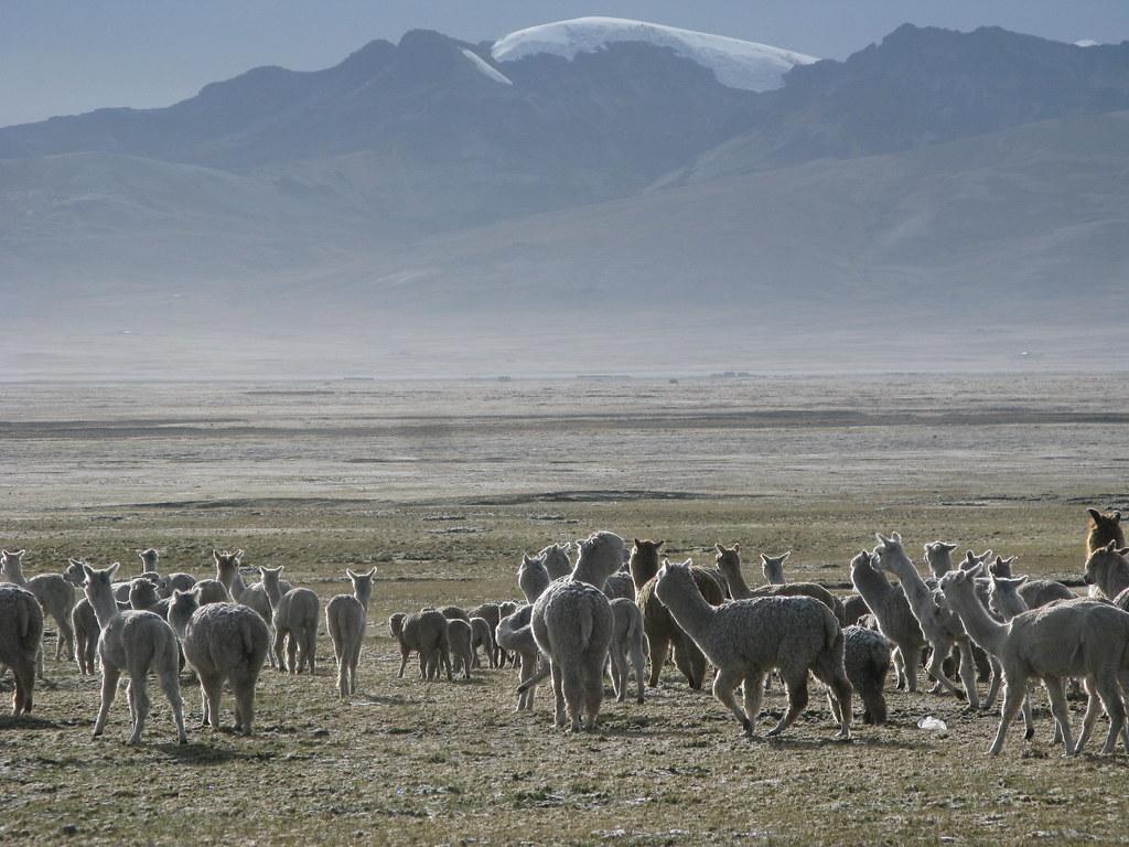 alpacas contraluz
