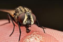 3x at F16 and ISO 800 (Dalantech) Tags: macro canon insect fly iso f16 800 3x mpe65 mt24ex 1dmkiii dalantech johnkimbler