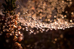 pearls of nature (Jos Mecklenfeld) Tags: autumn fall nature drops herfst spiderweb natuur ricoh drenthe spinnenweb drouwenerzand druppels drouwen gx200 ricohgx200