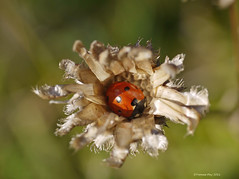 Ladybird centre (yvonnepay615) Tags: uk nature insect lumix norfolk panasonic ladybird g1 45mm eastanglia autofocus coth lynford supershot itsawonderfulworld blinkagain 5wonderwall