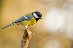 Msange charbonnire, great tit (Zed The Dragon) Tags: wild bird speed jaune french geotagged rouge effects photography photo flickr tits view minolta photos bokeh sony main images vert best full fave most frame getty faves gorge 100 fullframe alpha antony animaux parc postproduction franais greattit sal zed gettyimages oiseaux francais sceaux lightroom f40 effets msange 200mm parcdesceaux favoris 24x36 iso1000 a850 0004sec sonyalpha hpexif alpha350 100comment minoltaapo 80200apog parcsceaux dslra850 alpha850 zedthedragon 100coms minoltaapo80200hs charbonnire peregrino27life