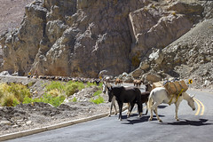 Herd of animals, Coquimbo Region, Chile (Chuck Sutherland) Tags: animals horses goats dogs huasos andesmountains mountains elquivalley coquimboregion chile cowboy horse animalia chordata mammalia perissodactyla equidae equus eferus efcaballus