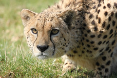Cheetah (TenPinPhil) Tags: cat headshot bigcat cheetah 2012 canon500d whf philipharris flickrbigcats tenpinphil