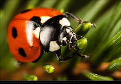 Day 97 - Ladybird on pine (John P Norton) Tags: macro insect ladybird manual f11 2012 366 canoneos1dmarkiii 500px 1250sec mpe65mmf2815xmacrophoto focallength65mm copyright2012johnnorton