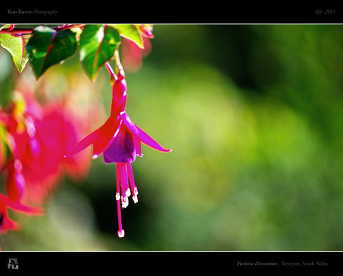 Fuchsia Discretion by TomRaven
