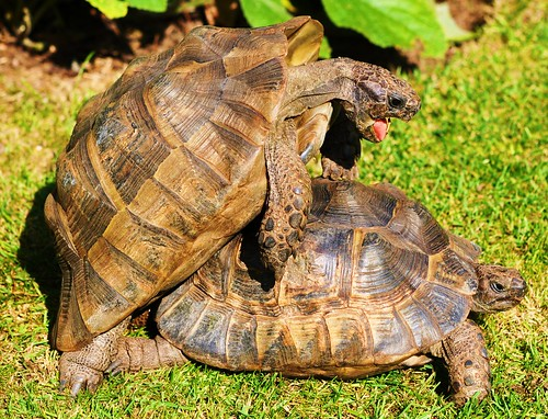 Tortoises by Kinzler Pegwell