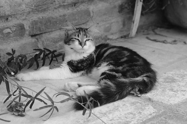 la lodola cat in b&w