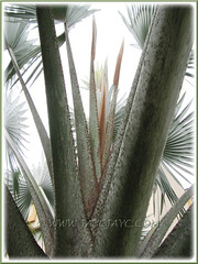 Bismarckia nobilis (Bismark/Bismarck Palm): closeup on its central growing tip