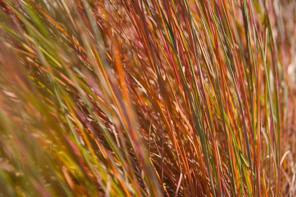 little bluestem  599