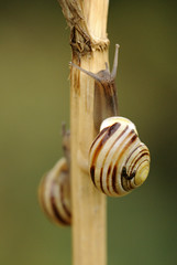 White-lipped banded snails (amylewis.lincs) Tags: uk england macro nature animal nikon britain wildlife sigma lincolnshire british mollusc invertebrate 180mm cepaeahortensis d3000