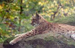 Luchs (Karamellzucker) Tags: cute natur mde wald kaiserslautern felsen wildpark luchs wildnature groskatze