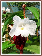 Cheilocostus speciosus, syn: Costus speciosus (Crepe/Crape Ginger, Spiral Ginger, White Costus) in the neighbourhood