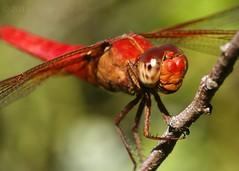 Dressed to Impress (Shutter_Hand) Tags: red usa naturaleza rot insect rouge dallas rojo texas dragonfly sony vermelho libelula alpha rosso liblula dallasarboretum roja   insecto rd  a700  miguelmendoza  sonyalphaa700 letnaturenurtureyou sonyaf100mmf28macrod