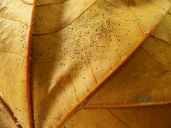 Veins (Walimai.photo) Tags: autumn brown macro fall hoja lumix leaf spain panasonic otoo veins salamanca marrn venas lx5 thechallengefactory