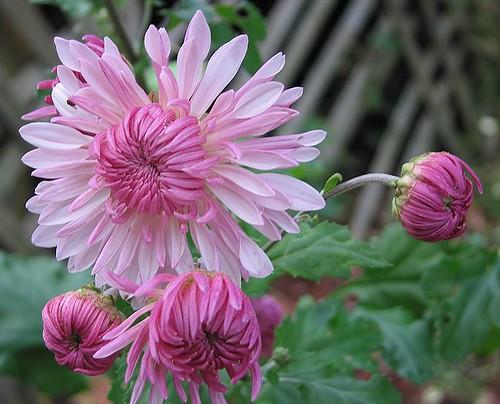 """Chrysanthemum """"Emperor of China."""" by Leenechan"""
