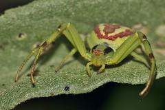Mecaphesa asperata (carlos mancilla) Tags: macro spiders araas ef100mmf28macrousm arcnidos canoneos550d canoneosrebelt2i sweetfreedom greenbeautyforlife mecaphesaasperata