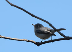 10-21-11 Blue gray gnatcatcher - Mead Gardens (janeswalden) Tags: blue bird gardens mead