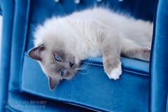 Just call me blue (Russ Beinder) Tags: blue cat feline kitty siamese whiskers ragdoll purebred 85mmf14 impressedbeauty shiichan 2011102500013