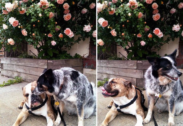 dogs_roses
