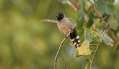 Red Vented Bulbul (Birds by Prerna) Tags: india bulbul