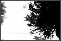 rvores (Paulo JS Ferraz) Tags: trees kyocera rvores doublex 17min yashicamf3 kodak5222 pauloferraz pjsf paulojsferraz caffenol814sal