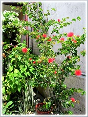 Potted Calliandra emarginata (Dwarf Powder Puff, Powderpuff Plant) with fabulous red flowers, in our garden