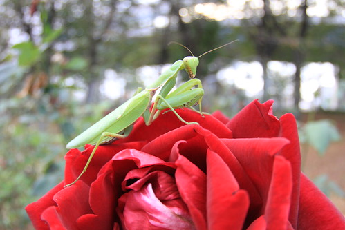 Rose and Mantis