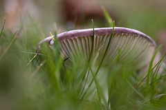 Purple Roof (Djenzen) Tags: nature mushroom purple natuur fungi paddestoel paars