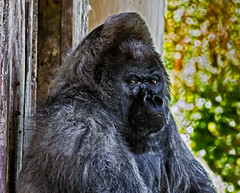 Nico the Silverback (Dave_O1 (hates the new look)) Tags: beautiful canon giant big gorilla awesome large grand special 7d huge 50 nico longleat rare enormous silverback exceptional ef100400lisusm