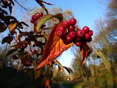 Autumn hue. (stokeyouth1) Tags: autumn red leaves station amber leaf bed berry track berries derbyshire peakdistrict railway sunny panasonic compact whitepeak highpeak tissingtontrail hartington pecsaetan dmctz5 pecsaetans