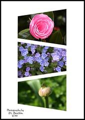 Flower triptych (DianneB 2007.) Tags: flowers triptych many manipulation montage digitalphotomag