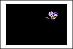 close-up #9 (e.nhan) Tags: life light black flower art nature closeup colours shadows dof bokeh backlighting enhan