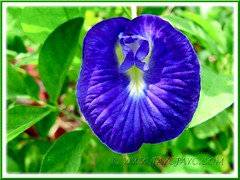 Solitary Clitoria ternatea flower (Butterfly Pea, Blue Pea Vine, Asian Pigeonwings) in vivid royal blue