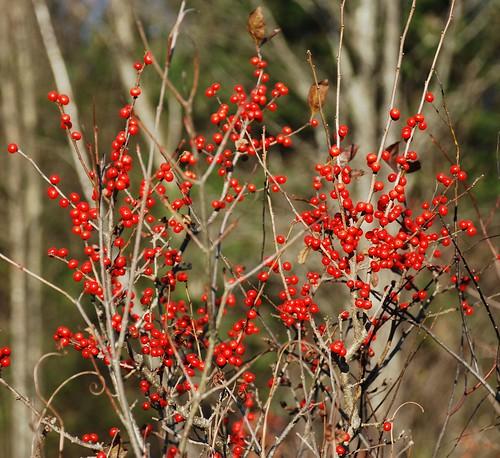 Beautiful Red Berries