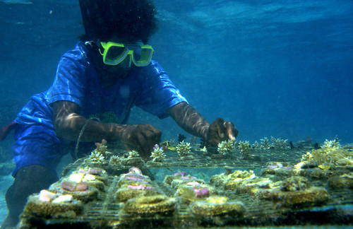 Coral farming in village Marau, Guadalcanal, Solomon Islands. Photo by Jane Harris, 2001