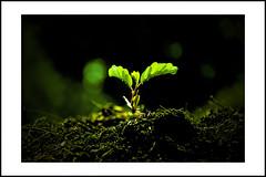 new life #2 (e.nhan) Tags: life light black green art nature leaves closeup leaf colours shadows dof bokeh backlighting enhan