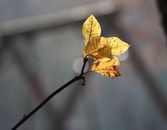 bald fallen auch sie..... (   flickrsprotte  ) Tags: herbst bltter ilovenatur flickrsprotte
