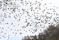Tree Swallows and Hawk (sandy richard) Tags: longisland beaches wildwood wildwoodstatepark sandyrichard sandrarichard