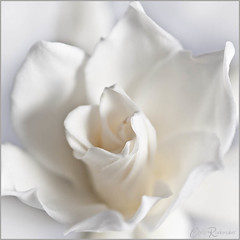 White Gardenia (Chris Rademaker) Tags: white flower gardenia fa week46 onecolour 52of2011