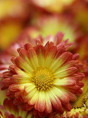 Chrysanthemum Dazzling Stacy Orange (donsutherland1) Tags: flowers ny newyork bronx blossoms bloom chrysanthemum nybg chrysanthemums newyorkbotanicalgarden topshots fantasticflower languageofflowers abigfave flickraward flowersarebeautiful excellentsflowers natureselegantshots mimamorflowers awesomeblossoms flickrflorescloseupmacros saariysqualitypictures thebestofmimamorsgroups fleursetpaysages mygearandme chrysanthemumdazzlingstacyorange